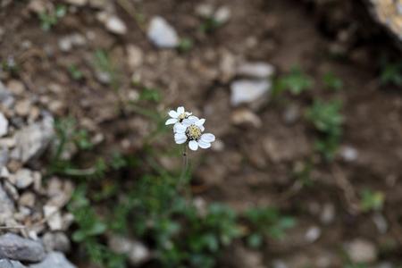 yarrow: Flower of a Dark Stemmed Sneezewort (Achillea atrata)