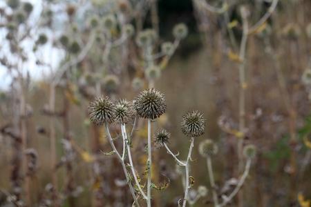 glandular: Dry flowers of a glandular globe thistle (Echinops sphaerocephalus)