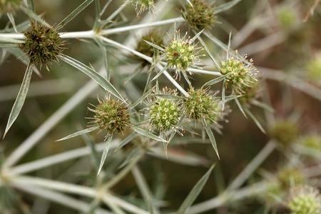 feld: Flowers of a field eryngo (Eryngium campestre) Stock Photo