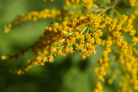 goldenrod: Flowers of a Canada goldenrod  (Solidago Canadensis)