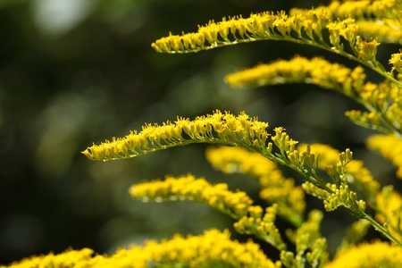 herbaceous: Flowers of a Canada goldenrod  (Solidago Canadensis)