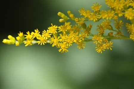 canadensis: Flowers of a Canada goldenrod  (Solidago Canadensis)