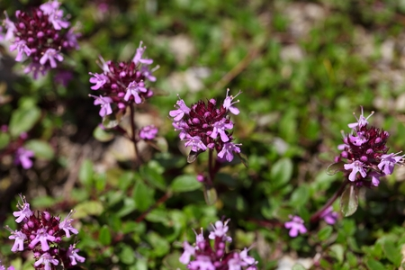 substrate: Mother of thyme flowers (Thymus praecox) on a stony substrate in the Bavarian Alps.
