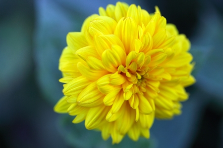 helianthus: Flower of a cultivation form of the thinleaf sunflower (Helianthus decapetalus) Stock Photo