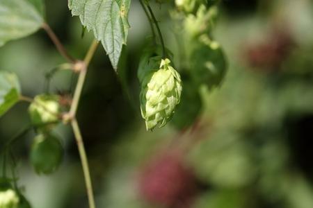 humulus lupulus: A female flower of hop (Humulus lupulus)