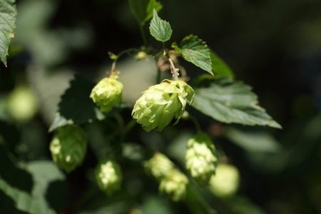 A female flower of hop (Humulus lupulus)