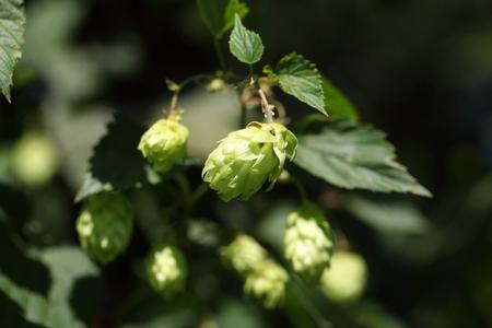 lupulus: A female flower of hop (Humulus lupulus)