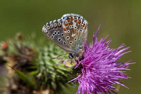 polyommatus: An Adonis blue butterfly (Polyommatus bellargus) on a thistle flower. Stock Photo