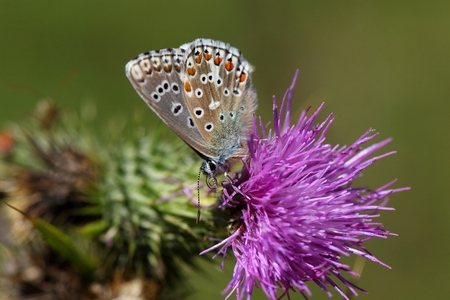 An Adonis blue butterfly (Polyommatus bellargus) on a thistle flower. Stock Photo