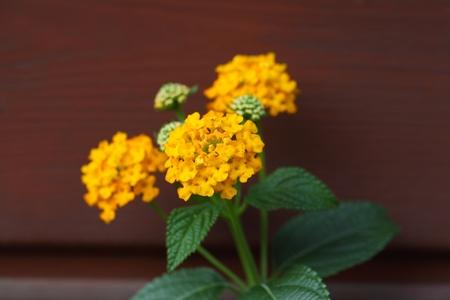 lantana: Flowers of a Big Sage (Lantana camara)