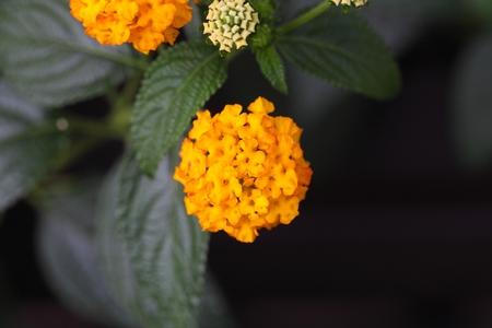 lantana camara: Flowers of a Big Sage (Lantana camara)