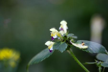 Flower of a Large-flowered hemp-nettle (Galeopsis speciosa)