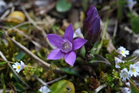 gentian flower: Flower of a Chiltern gentian (Gentianella germanica)