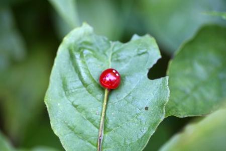 alpen: Berries of an Alpine Honeysuckle (Lonicera alpigena)