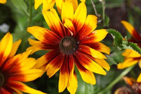 Flower of a cultivation form of a black-eyed-Susan (Rudbeckia hirta)
