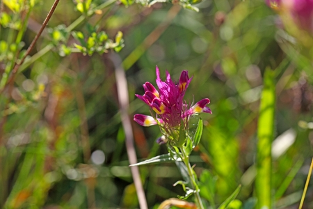 Flower of a field cow wheat (Melampyrum arvense) Stock Photo