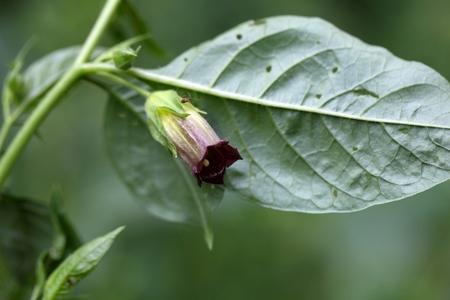 belladonna: Flower of a belladonna or deadly nightshade (Atropa belladonna)