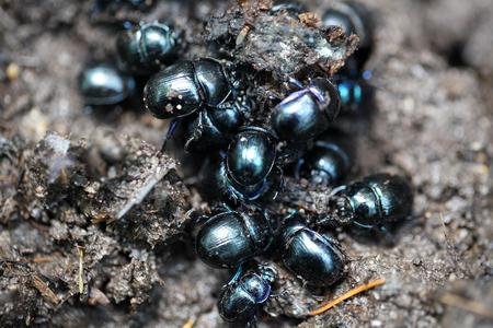 Earth boring dung beetles, Anoplotrupes stercorosus