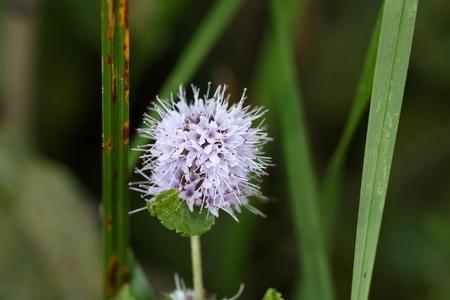 aquatic herb: Flower of the water mint (Mentha aquatica)