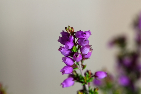 ericaceae: Flowers of the bell heather (Erica cinerea)