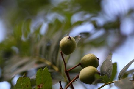 sorbus: Green fruits of a service tree (Sorbus domestica L.)