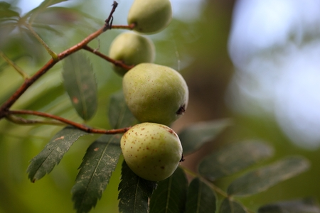 tree service: Green fruits of a service tree (Sorbus domestica L.)