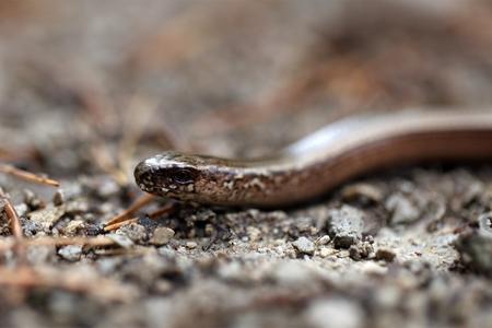 fragilis: Macro photo of a Head of a Slowworm,  Anguis fragilis