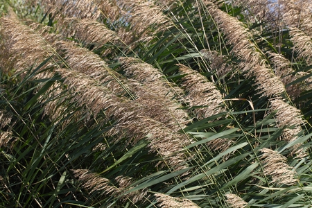 common reed: Common reed (Phragmites australis) as background or texture.