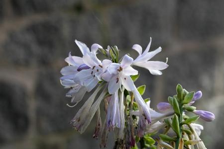 hosta: Flower of the plantain lily Hosta sieboldii. Stock Photo
