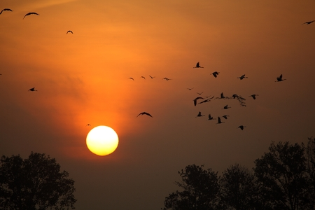 Sunrise with flocks of flying cranes and trees.