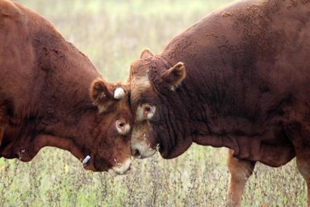 testosterone: Heads of two bulls on range land. Stock Photo