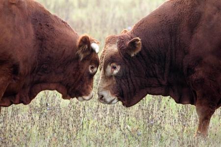 Heads of two bulls on range land. Stock Photo
