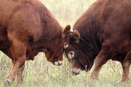 Heads of two bulls on range land. Stock Photo