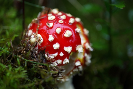 'fly agaric': A fly agaric fungi (Amanita muscaria) on forest floor. Stock Photo