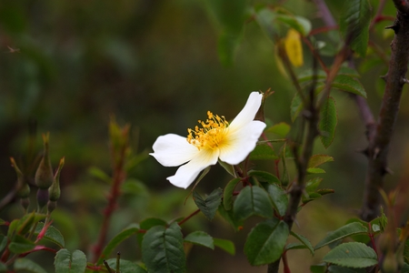 species: Flower of a Rosa abyssinica, an endemic rose species in the Ethiopian Highlands.