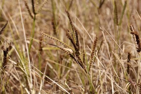 African finger millet (Eleusine coracana) in a field.