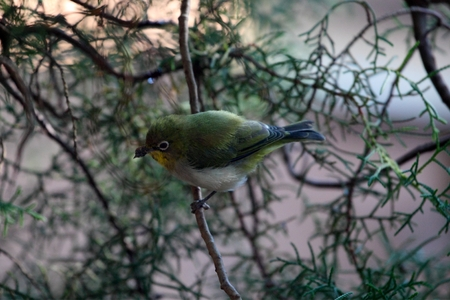 tropical shrub: A White-breasted White-eye (Zosterops abyssinicus) in a juniperus bush in Africa. Stock Photo