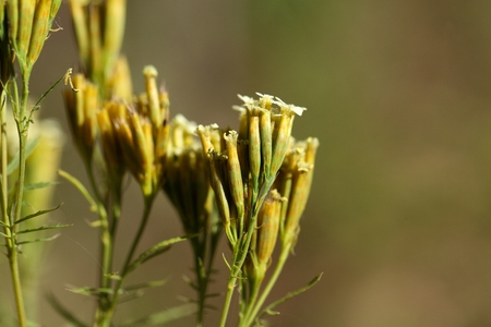 ecosistema: Flores de Tagetes minuta, hierba culinaria en diferentes países de América del Sur.