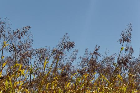 sorgo: Espigas de cereales bicolor sorgo con un cielo azul. Foto de archivo