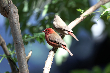 A pair of red billed firefinches (Lagonosticta senegala) on a branch. Stock Photo