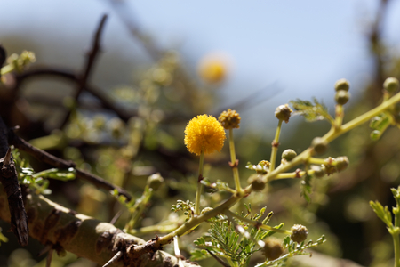 Yellow flowers of a Red Acacia tree (Acacia seyal), the tree is used for the gum  arabic production.
