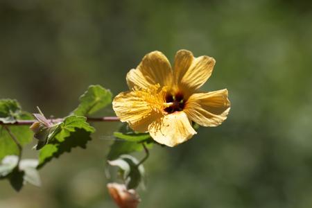 Flower of a yellow hibiscus bush in Ethiopia, maybe Abutilon mauritianum. Stock Photo