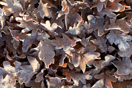 hojas antiguas: Old leaves with hoar frost in the morning.