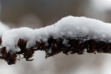 deep freeze: A dry, old flower covered with snow. Stock Photo