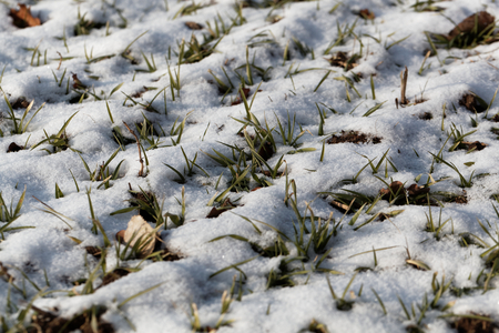 flurry: Young plants of winter grain on a snowy field. Stock Photo