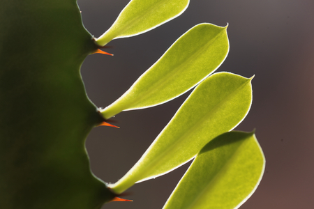 Leaves of a euphorbia plant with backlight illumination.