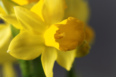 horticultural: Flower of the Narcissus cyclamineus sort Tete a Tete.