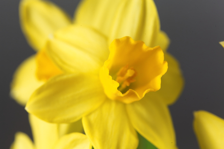 perianth: Flower of the Narcissus cyclamineus sort Tete a Tete.