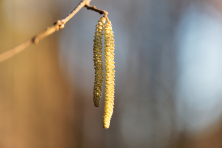 hazel branches: Male flowers of a common hazel (Corylus avellana) Stock Photo