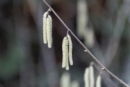 Male flowers of a common hazel (Corylus avellana) Stock Photo